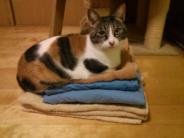 洗濯物に猫