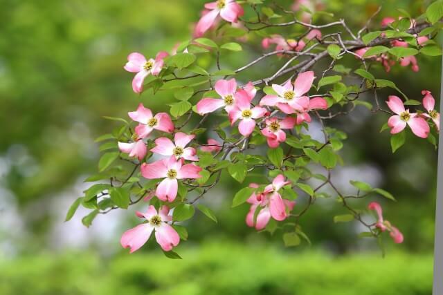 5月の花・ハナミズキ