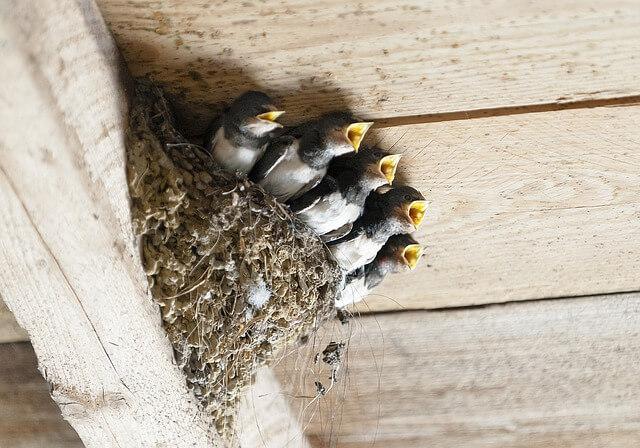 ツバメの巣作りtop