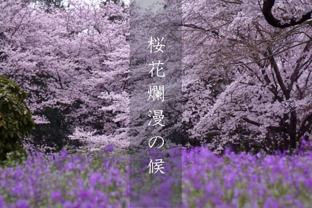 桜花爛漫の候